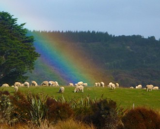 Chaslands sheep